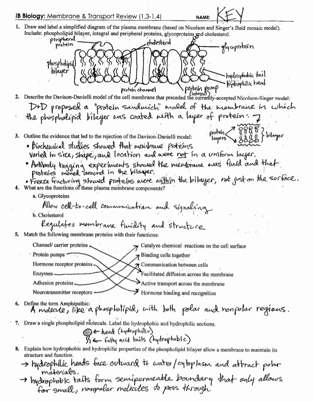 Cell Transport Worksheet Biology Answers New Ib Cell Membrane & Transport Review Key 1 3 1 4
