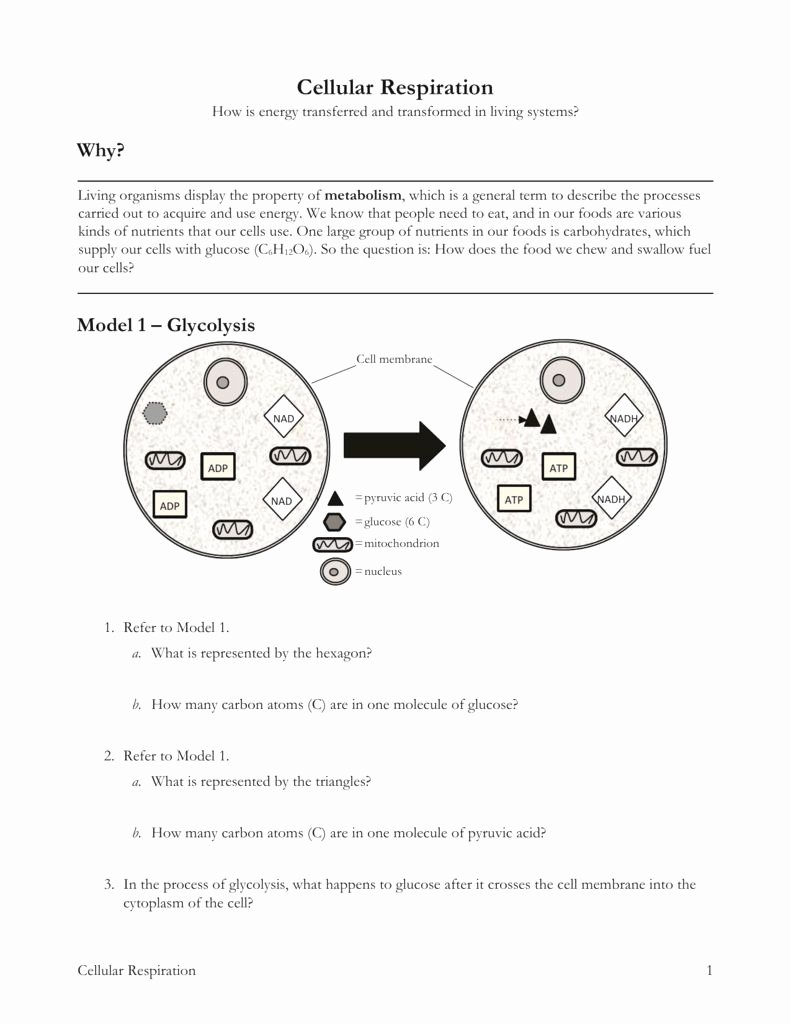 Cellular Respiration Worksheet Answer Key Free Cellular Respiration Worksheet Answer Key Lovely High School