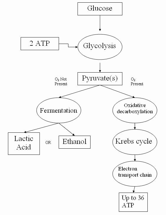 Cellular Respiration Worksheet Answer Key Kids Cellular Respiration Worksheet Answer Key Synthesis and