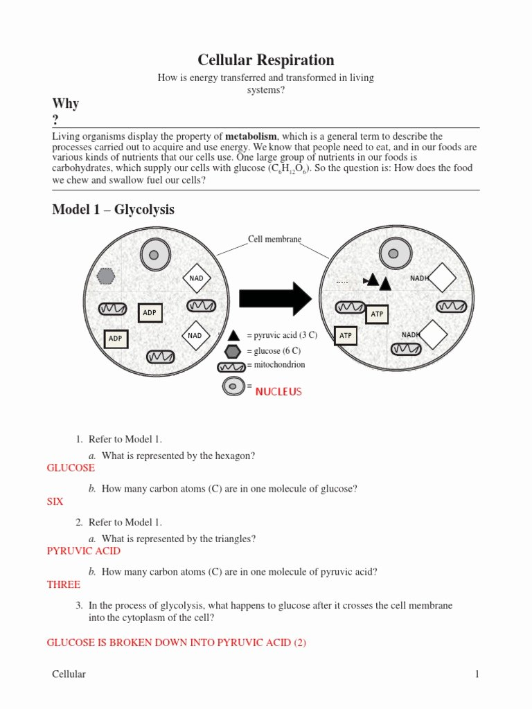 Cellular Respiration Worksheet Answer Key New 13 Cellular Respiration Key