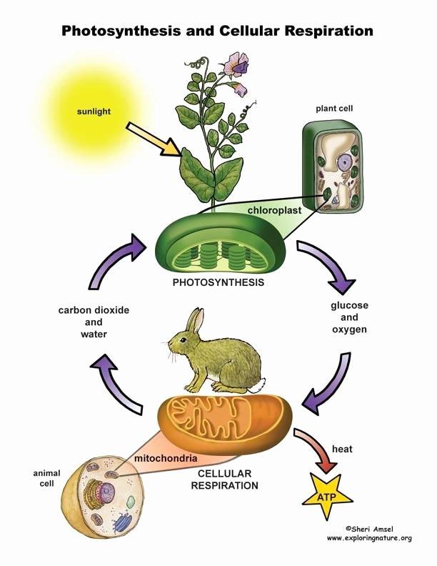 Cellular Respiration Worksheet Middle School Fresh Biology Eoc Resources Unit 4 Cellular Energy