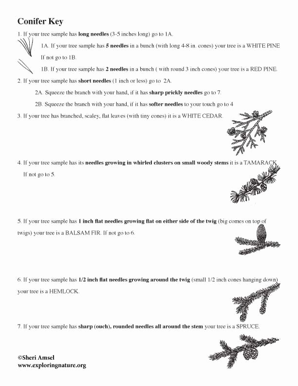 Dichotomous Key Worksheets Middle School Kids Tree Identification Using A Dichotomous Key for Conifers