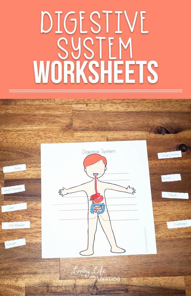 Digestive System for Kids Worksheets Free Digestive System Worksheets for Kids