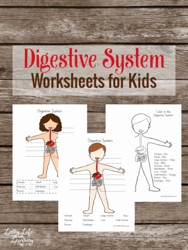 Digestive System for Kids Worksheets Fresh Digestive System Worksheets for Kids