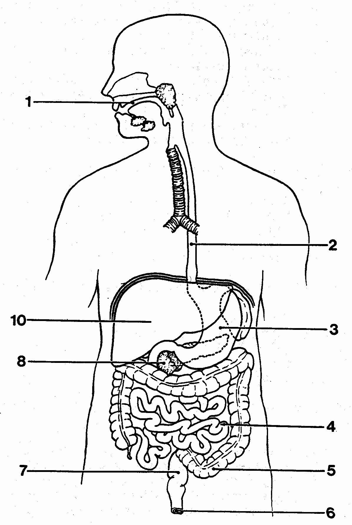 Digestive System Worksheets Middle School Best Of Best solutions Digestive System Worksheets Collections
