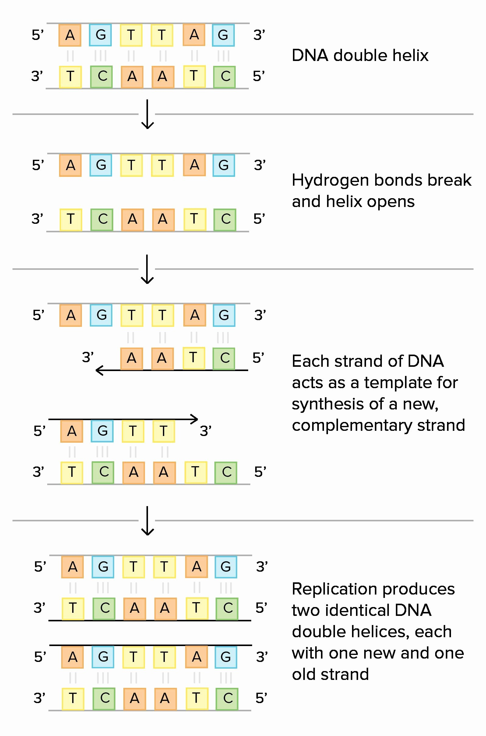 Dna Base Pairing Worksheet Answers New Classified Dna Base Pairing Worksheet Answers