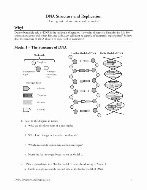 Dna Structure and Replication Worksheet top Dna Structure and Replication Ramsey School District