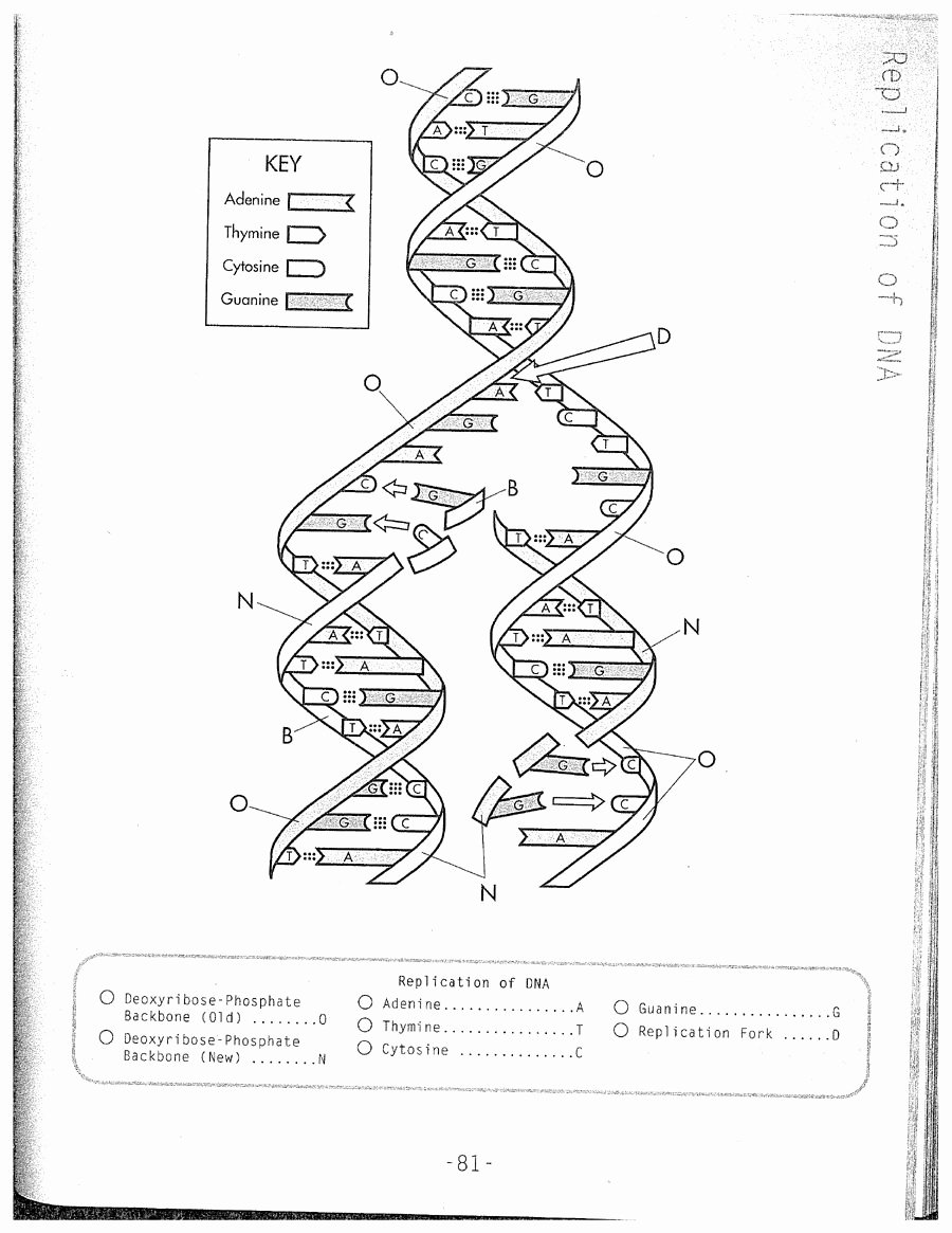 Dna Structure Worksheet Answer Key top Dna Replication Coloring Worksheet