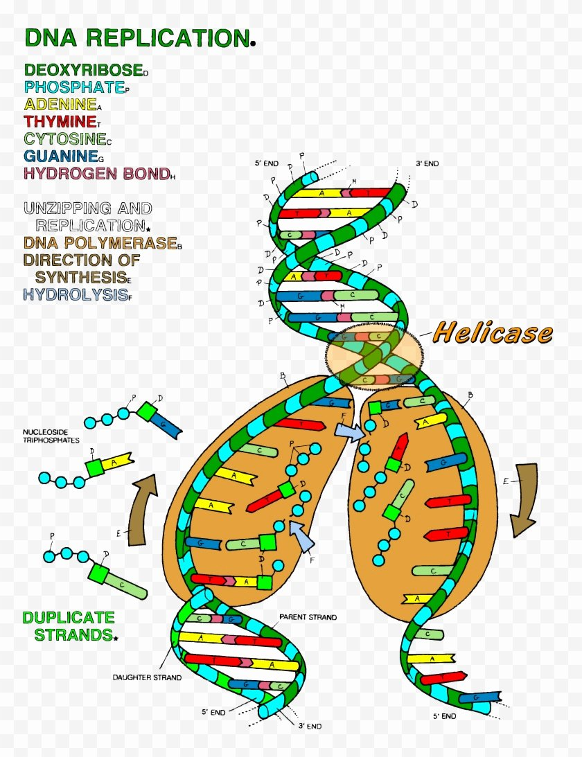 Dna the Double Helix Worksheet Best Of Dna the Double Helix Coloring Worksheet Dna Transcription