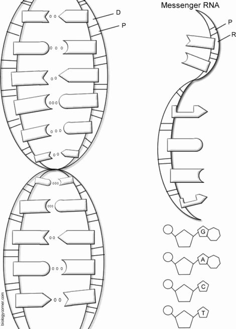 Dna the Double Helix Worksheet Printable Dna the Double Helix Coloring Worksheet Key 1