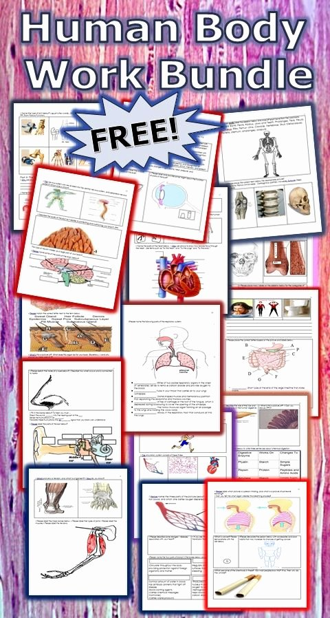 Free Printable Human Anatomy Worksheets Free Free Printable Human Anatomy Worksheet Pack Homeschool