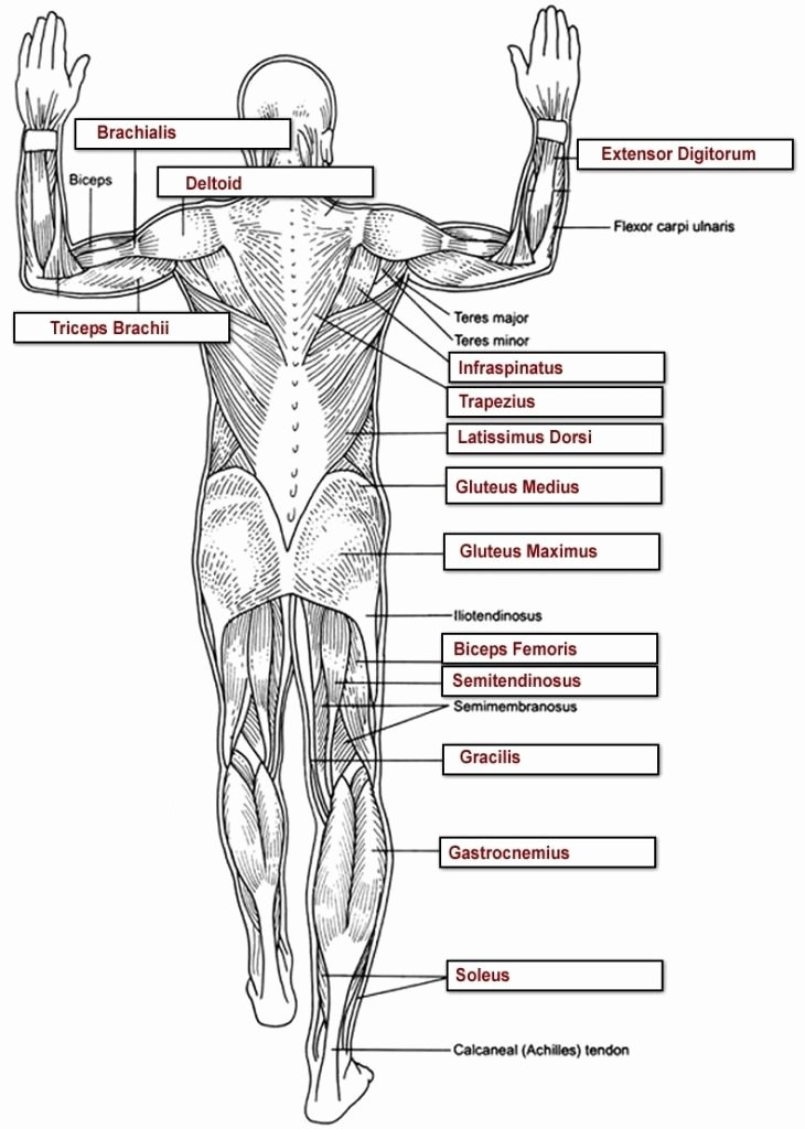 Human Anatomy Worksheets for College Best Of Human Body Diagram Worksheet Human Anatomy
