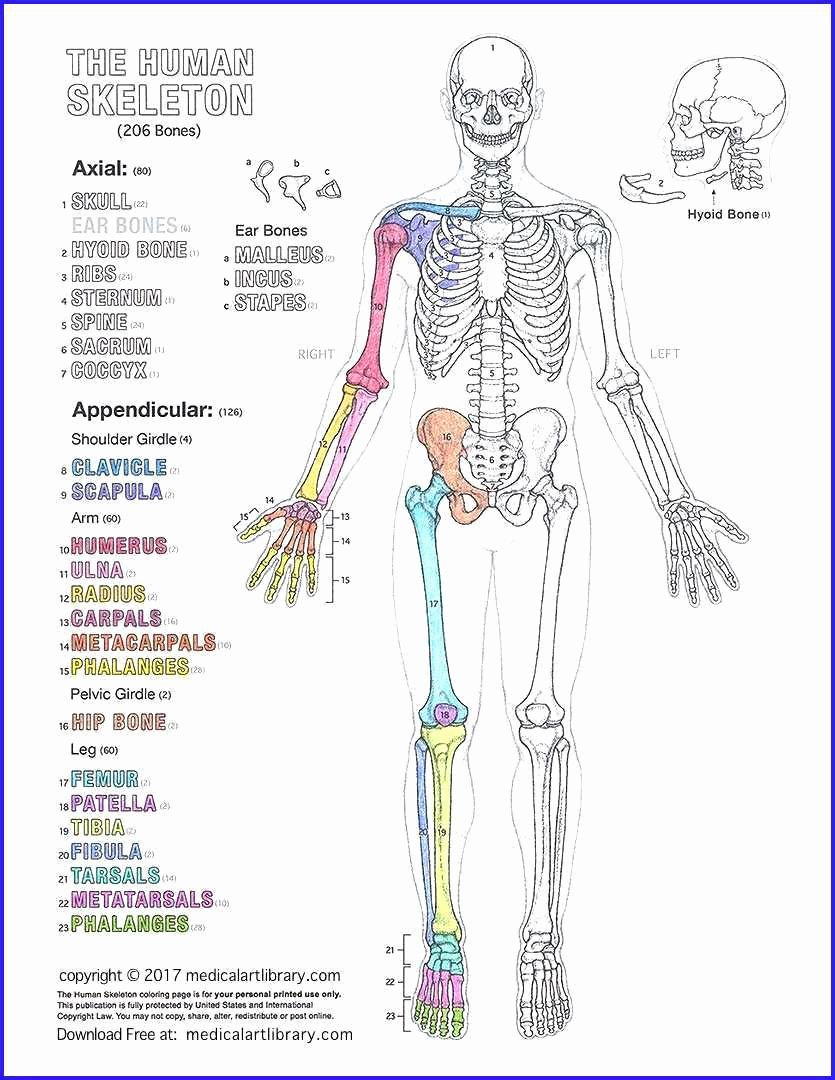 Human Anatomy Worksheets for College Free Freenatomy Coloring Pages Muscular System Printable