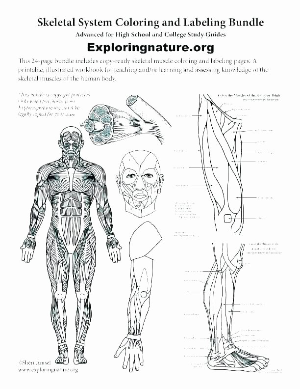 Human Anatomy Worksheets for College Free Human Anatomy Worksheets Printable College Skeletal for