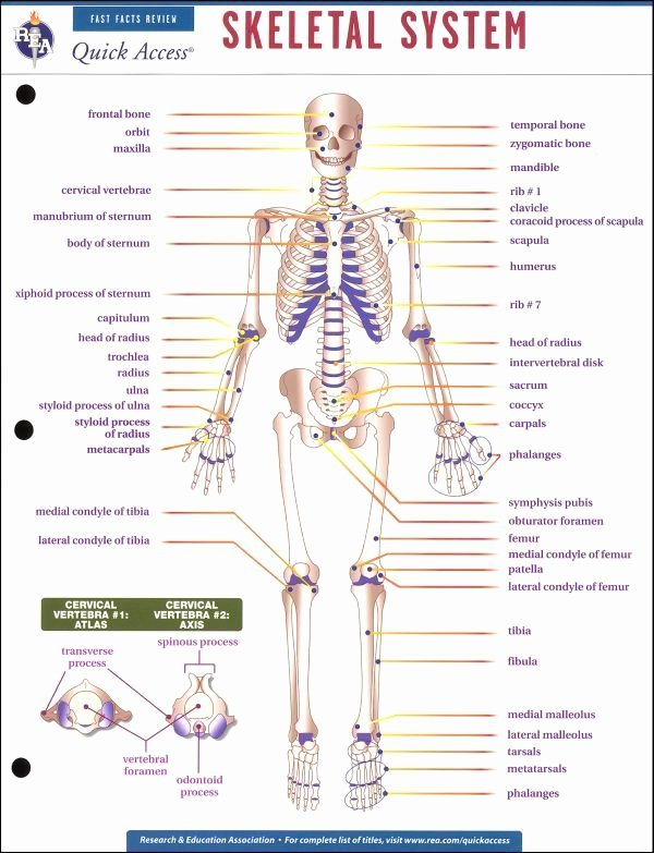 Human Anatomy Worksheets for College Free Skeletal System