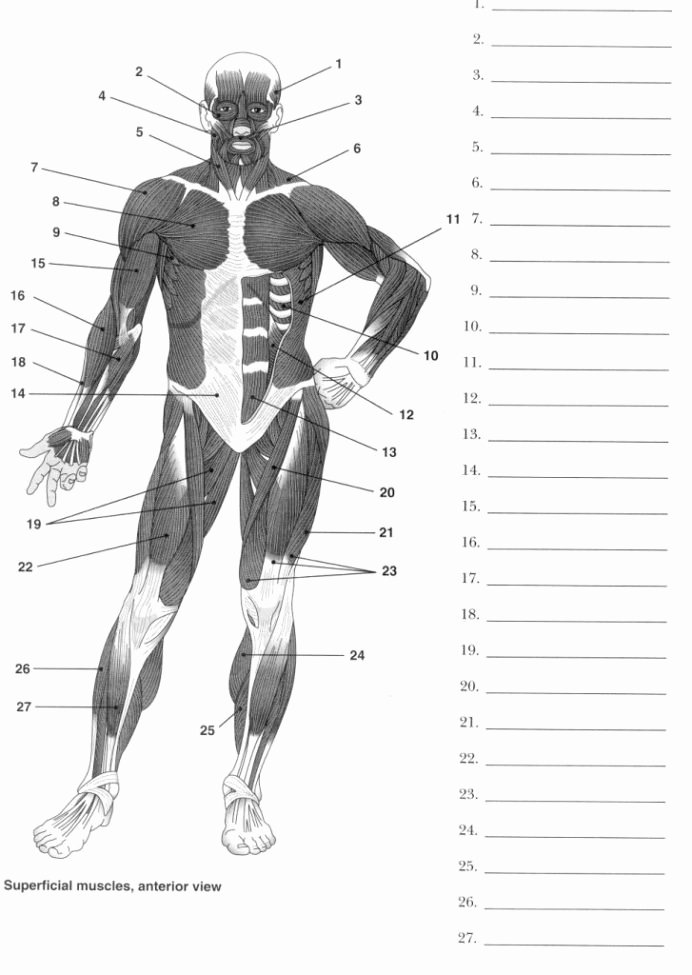 Human Anatomy Worksheets for College Printable Anatomy Labeling Worksheets Google Search with Human