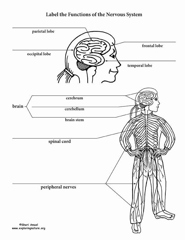Nervous System Worksheet High School Inspirational Nervous System Parts and Functions Labeling Page