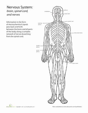Nervous System Worksheet High School top Nervous System Worksheet High School Awesome 50 Best Human