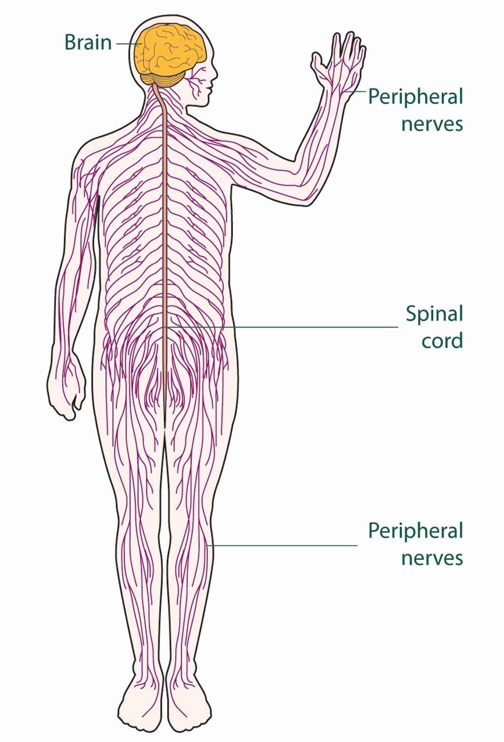 Nervous System Worksheet High School top Nervous System Worksheet High School Diagram the Nervous