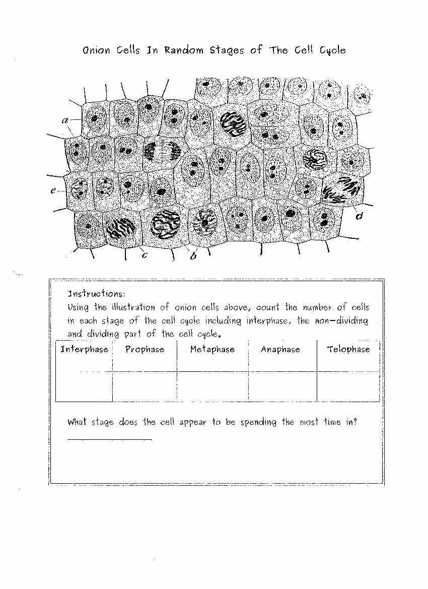 Onion Cell Mitosis Worksheet Answers New 34 Ion Cell Mitosis Worksheet Answers Worksheet Project List