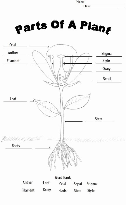 Parts Of A Flower Worksheet Lovely Parts A Flower Coloring Page Fresh Plant Diagram Coloring
