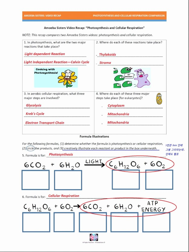 Photosynthesis and Respiration Worksheet Answers Best Of Synthesis and Cellular Respiration