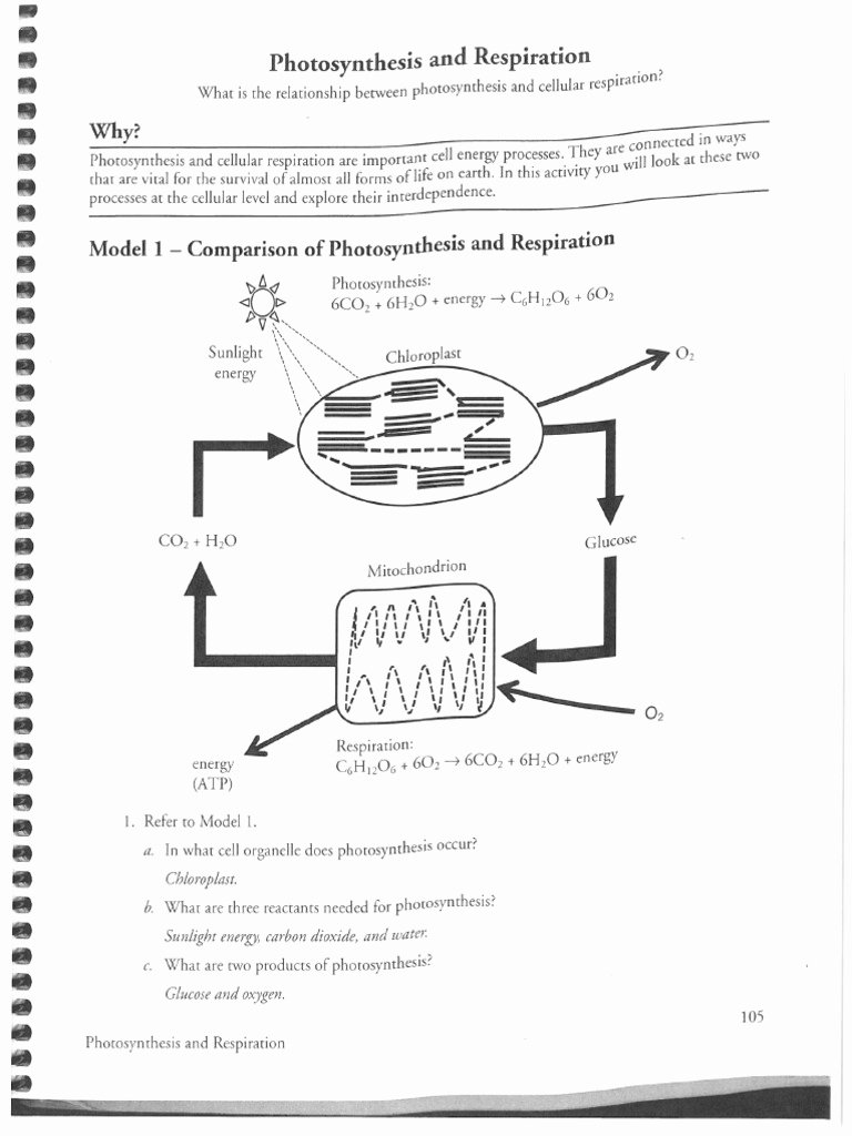 Photosynthesis and Respiration Worksheet Answers top Respiration and Synthesis Key